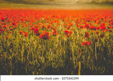 A meadow full of red common poppies