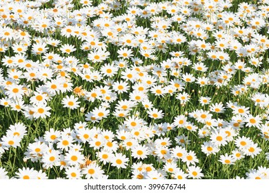 Meadow full of white Daisies