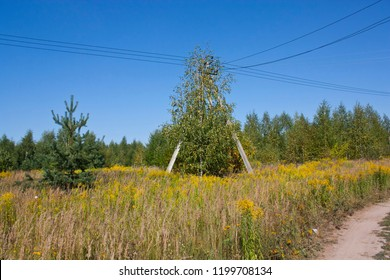 Meadow with goldenrod (Solidago altissima) with spruces and pole of power line in the middle. Mixed forest on background, sunny day.