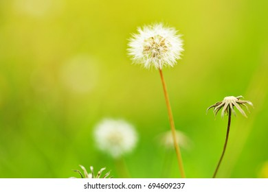 Meadow grass in autumn in the morning sunlight On a green blurry background. Dandelion