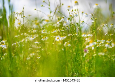 Meadow grass with daisies, bright summer background