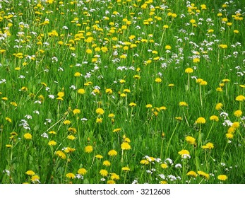 Meadow with grass and dandelion