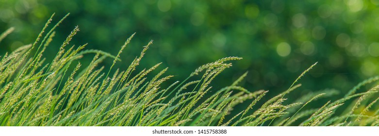 meadow grass ears on blurred green background.Web banner for your design.