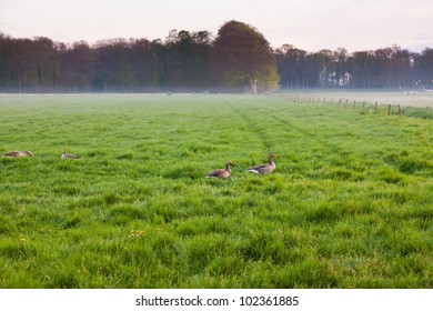 Meadow with grazing geese in the mist at sunset. Holland. The Netherlands.