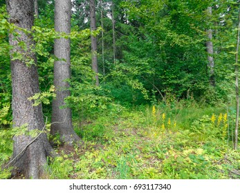 Meadow in a green faery summer forest in August. Hot day. Noon. Russia