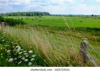 Meadow landscape in Nijmegen, the Netherlands. In the background the dutch black & white cows.