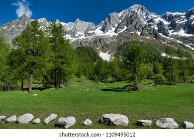 meadow, larches, forest, mountains of Aosta Valley in a beautiful day of spring with blue sky in background