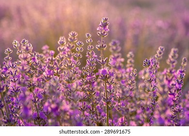 Meadow of lavender. Nature composition