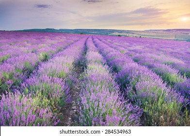 Meadow of lavender on sunset. Nature composition.