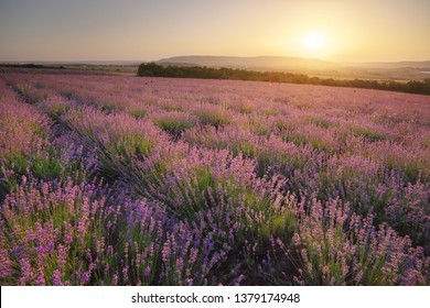 Meadow of lavender at sunse in fog. Nature landscape composition.