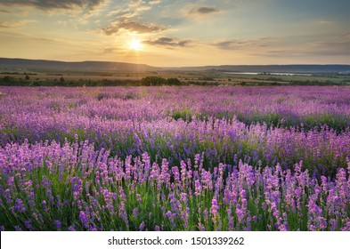 Meadow of lavender at sunset. Nature composition.