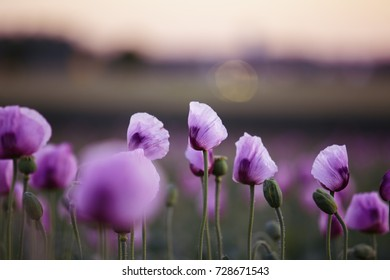 Meadow with Lilac Poppy Flowers in early Summer - Palatinate, Germany