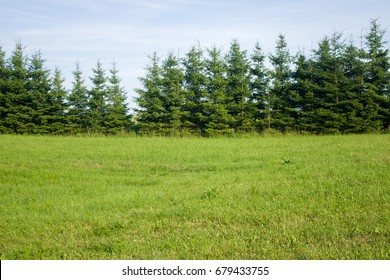 Meadow and a line of conifers (spruce trees) - tree line behind a meadow in summer