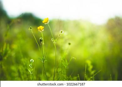 Meadow little yellow flowers in field. Spring