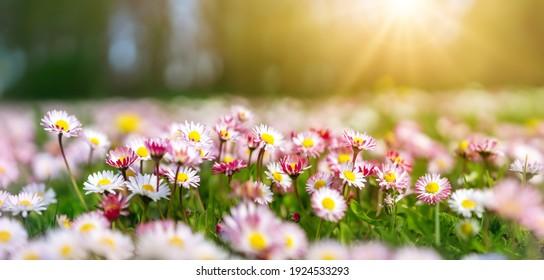 Wiese mit vielen rosa Frühlingsblumen im sonnigen Tag. Naturfloraler Hintergrund im Frühsommer mit frischem grünem Gras