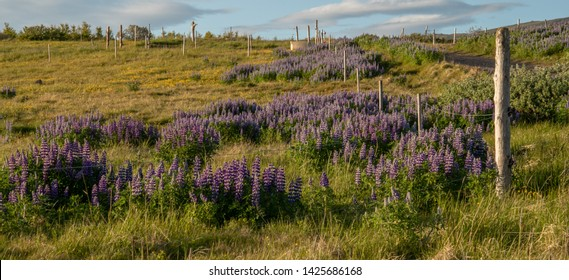Meadow with lupins, icelandic countryside