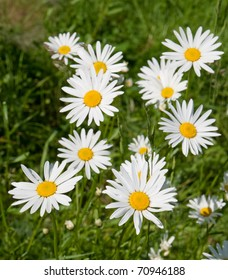 Meadow with marguerite in spring, Leucanthemum vulgare