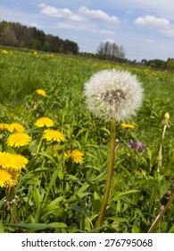 meadow in May full flowering yellow dandelions as a background