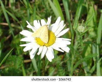 meadow moth