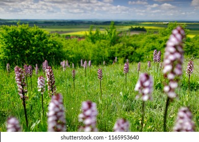 Meadow with Orchis purpurea, Lady Orchid, flowering European terrestrial wild orchid in nature habitat with green background, Czech Republic, Europe. Bloom plant in habitat. Spring landscape.