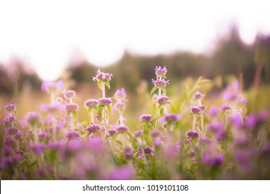 Meadow pink flowers. Nature outdoor