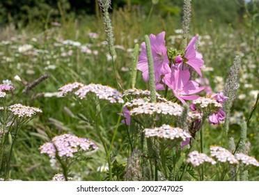 Meadow with pink vervain mallow and white cow parsley, photographed in Gunnersbury, Chiswick, west London, UK.