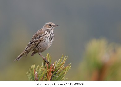 Meadow Pipit (Anthus pratensis) perched on a pine branch. Beautiful songbird with soft background in the mountainous environment. Czech Republic