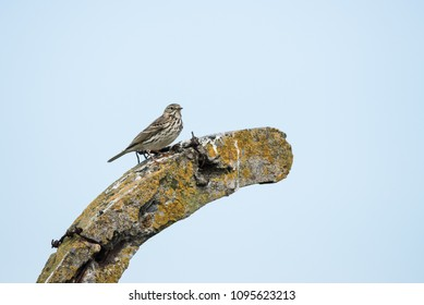 Meadow Pipit - Ireland