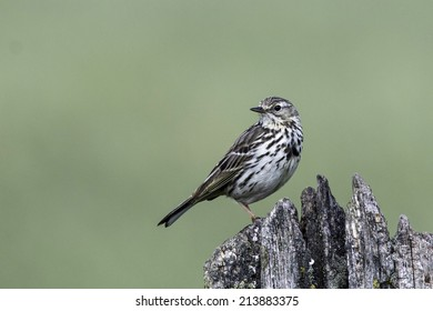 Meadow pipit sitting on a pole