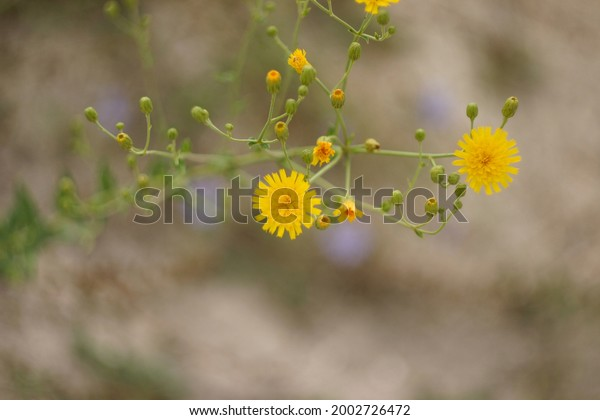 meadow-plant-hieracium-pluricaule-family