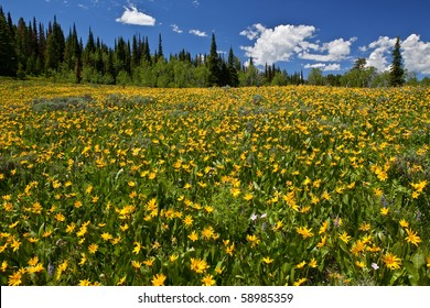 A meadow of Rocky Mountain Sunflowers or 'Little Sunflowers'