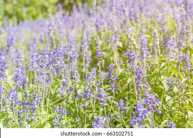 Meadow Sage (Salvia pratensis) - herbaceous perennial plant, field of purple flowers, selective focus