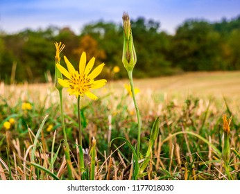 Meadow Salsify flower(Tragopogon pratensis L.) - also known as meadow goat's-beard. Close-up view of flower with blurred meadow, blue cloudy sky and forest in background.