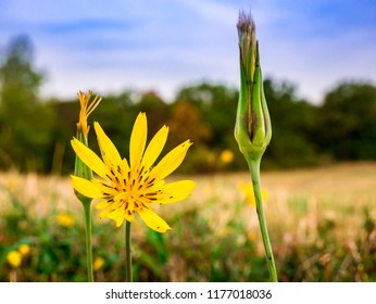 Meadow Salsify flower(Tragopogon pratensis L.) - also known as meadow goat's-beard. Close-up view of flower with blurred meadow, blue cloudy sky and forest in background - selective focus