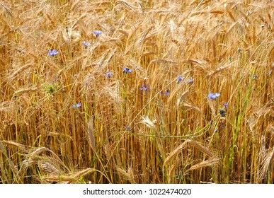 Meadow in the sunny day. Wheat, cornflowers and grass. Plants on the field. Wild flora.