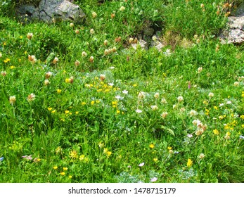 Meadow under Crna prst in Slovenia full of blooming flowers incl. silvery crane's bill (Geranium argenteum) and  cream clover (Trifolium noricum) - Shutterstock ID 1478715179