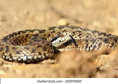 meadow viper ready to strike ( Vipera ursinii rakosiensis )
