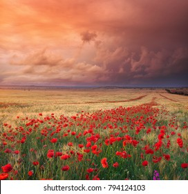 Meadow of wheat and poppy. Nature composition.