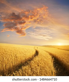 Meadow of wheat at sunset. Nature composition.