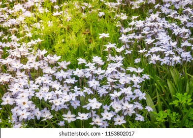 Meadow with White Star Flowers at the Spring Festival - Floriade in Canberra in Australian Capital Territory.