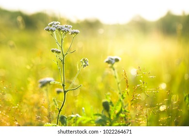 Meadow white weeds flowers in spring. Nature