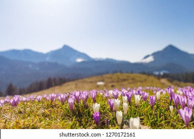 meadow of wild crocos in purple and white on famous Mountain Heuberg with snow covered Alps in the background