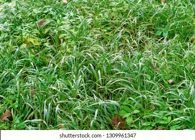 meadow and wild green grass closeup for a natural natural background