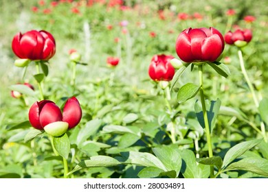 Meadow with wild red peonies on a green background