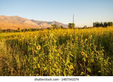 meadow of wild sunflowers blooming in rural California