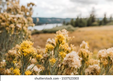 A meadow of wildflowers on the bottom of the image in California. These flowers are called, Sweet Boom or Scotch Boom. Muted colors of the wildflowers up against a cloudy blue sky.