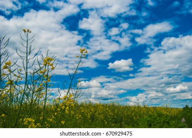 Meadow with yellow flowers and blue sky.