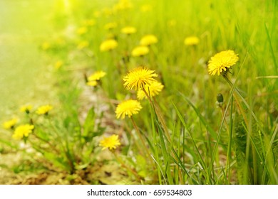 meadow with yellow flowers dandelions on Sunny day. Beautiful summer nature. Close up, soft focus, background mode