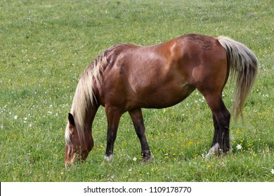 in a meadow of yellow and white flowers, a horse with a chestnut robe and a clear mane grazing peacefully