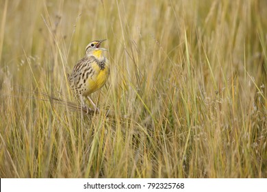 meadowlark in the grass